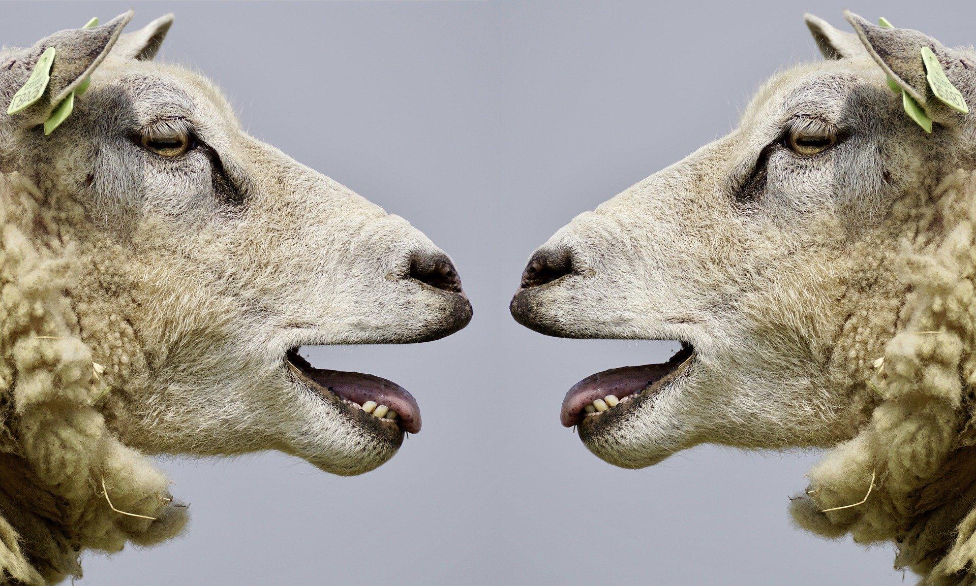 sheep 2372148 1920